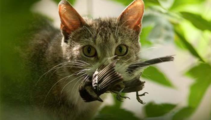 Για χάρη της άγριας ζωής, η Αυστραλία θα εξοντώσει εκατομμύρια γάτες