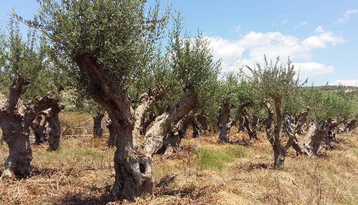 Κινδυνεύουν 15 ελαιόδεντρα ηλικίας χιλιάδων ετών στην Κρήτη