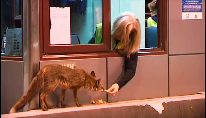 Φανταστικό: Υπάλληλος διοδίων ταΐζει στο στόμα μια αλεπού (Video)