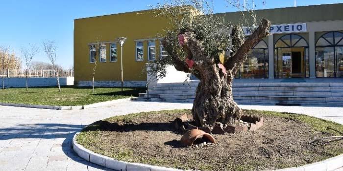 Υπεραιωνόβιες ελιές από τη Πελοπόννησο μεταφυτεύτηκαν στην πεδιάδα του Νέστου-Τι σκοπεύει να κάνει ο Δήμος Πύλου Νέστωρος;